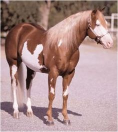 Overo Paint Horse that appears to have the Splash variation.