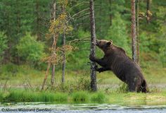 My second bear - Mimmi Widstrand - Wildlife Photographer of the Year 2009 : 10 Years and Under - Highly commended Natural History Museum, Event Calendar, Finland, Wildlife, Bear, 10 Years, Attraction, Nature, Photography