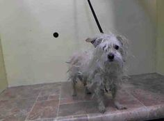 URGENT! Manhattan Center  STORMY - A0991255 SPAYED FEMALE, WHITE, MALTESE MIX, 5 yrs This poor girl needs some TLC! Can we get this little one out of there?  https://www.facebook.com/photo.php?fbid=754327657913449&set=a.617938651552351.1073741868.152876678058553&type=3&theater