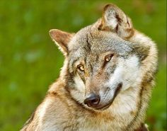 I think this wolf is smirking...or maybe smiling flirtatiously? Either way, it's adorable