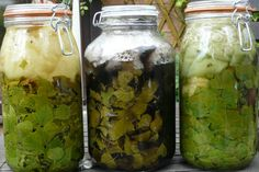 Growing Colour Tyfu Lliw: More On Solar Dyeing with BIRCH LEAVES