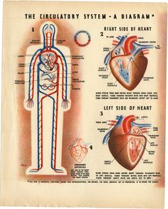 the circulatory system, by Irving Geis, 1930s