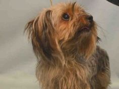 MIMI – A1074259 FEMALE, BLACK / TAN, YORKSHIRE TERR MIX, 5 yrs OWNER SUR – EVALUATE, NO HOLD Reason PERS PROB Intake condition EXAM REQ Intake Date 05/19/2016, From NY 10465, DueOut Date 05/19/2016,