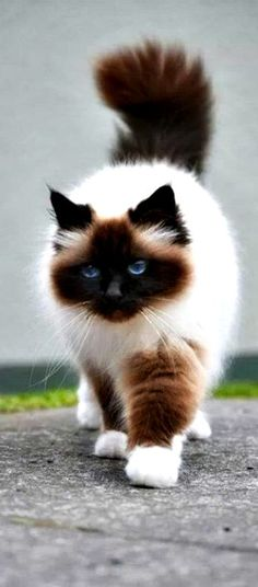 The Himalayan ~ is a breed or sub-breed of long-haired cat identical in type to the Persian, with the exception of the blue eyes and point coloration.
