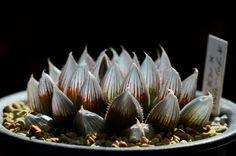 Haworthia hyb 'H.obtusa x H.venusta' | by miyatake30