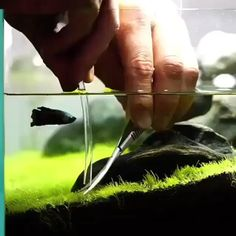 Aquascaping the aquarium grass while betta fish plays. Freshwater Aquarium Plants, Betta Aquarium, Tropical Fish Aquarium, Nano Aquarium, Aquarium Design, Planted Aquarium, Aquarium Landscape, Nature Aquarium, Aquascaping