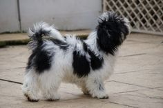 Shih tzu preto e branco & shih tzu preto e branco & shih tzu pret. Havanese For Sale, Havanese Puppies, Shih Tzu Puppy, Maltese Dogs, Baby Puppies, Baby Dogs, Dogs And Puppies, Shih Tzus, Teacup Puppies