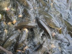 Lake Raystown PA-- where the carp are big and they chow down on dog food!