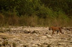 Fixed departure wildlife trip to Dhikala zone of Jim Corbett http://www.tigerwalah.com/events/dhikala-opener/