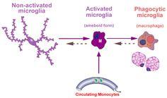 usando un nuevo sistema de mapeo para observar como se expande microglia (celulas inmunes para la homeostasis de tejidos) en el SNC ante una enfermedad