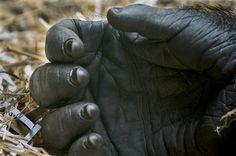Gorilla Hand by Scotmandu