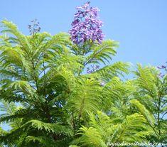 unjardinsostenible.com: Jacaranda mimosifolia (Jacarandá) Gerbera Jamesonii, Wearable Art, Plants, Flora, Horse Manure, Cut Flowers, Flowering Trees, Jacaranda Trees, Plant