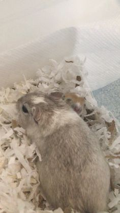 Adorable baby gerbil pup with its mother so cute! Gerbils are great! Gerbil, Rodents, Ohana, Baby Animals, Cute Babies, Creatures, Guys, Squirrels, Animais