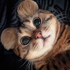 Who doesn't love petting a cute cat, or cuddling with an adorable kitten? While every feline is fetching in his or her own right, there are a few that tend to stand Cute Cats And Kittens, Baby Cats, Cool Cats, Kittens Cutest, Kitty Cats, Cute Baby Animals, Funny Animals, Funny Cats, Cats Humor