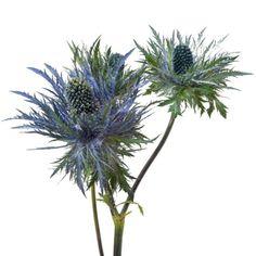 Eryngium, Deep Blue Jackpot (Choose 50 or 90 stems) Detail 1 Fresh Flowers, Beautiful Flowers, Blue Flowers, Sea Holly, Flower Food, Spray Roses, Make Arrangements, Deep Blue, Greenery