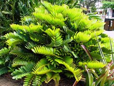 Cardboard Palm (Zamia furfuracea) plants for sale..slow grower, but beautiful in a tropical landscape