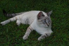 Lilac Point Siamese Cats | Creative Commons Attribution-Noncommercial 3.0 License .