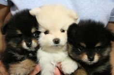 i want one of these teacup pomeranians <3 adorableee