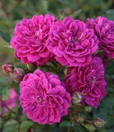 Rose 'Purple Rain®'
