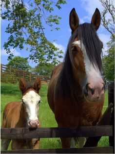 Clydesdale mare and foal by © Peter Skillen Art and Photography via . Most Beautiful Animals, Beautiful Horses, Beautiful Creatures, Pretty Horses, Majestic Animals, Beautiful Babies, Baby Horses, Draft Horses, Zoo Animals