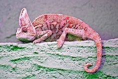 A chameleon, pinkish body color
