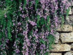 Rosmarinus 'Irene' is a trailing, groundcover woody perennial shrub with aromatic foliage and mauve-blue flowers. This culinary herb is also a landscaping plant that cascades over walls. It can be container grown, flowering in spring and summer.