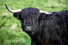 Highlander cow .....got one like this ! :)
