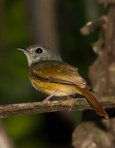 Foto papa-moscas-uirapuru (Terenotriccus erythrurus) por Marcelo Camacho | Wiki Aves - A Enciclopédia das Aves do Brasil