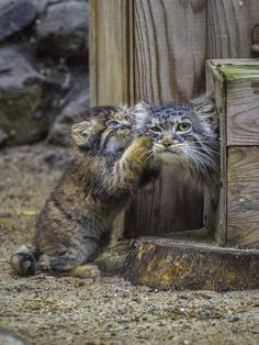 Pallas cats, mum with kitten Animals And Pets, Baby Animals, Funny Animals, Cute Animals, Pretty Cats, Beautiful Cats, Animals Beautiful, Rare Cats, Exotic Cats