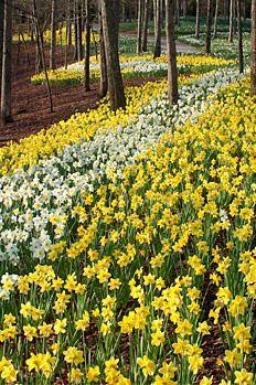Another great view of Daffodils at Gibbs Gardens, Ball Ground, GA - Mana vietne Beautiful World, Beautiful Gardens, Beautiful Flowers, Beautiful Places, Gardening Websites, Yellow Springs, Garden Park, Public Garden, Champs