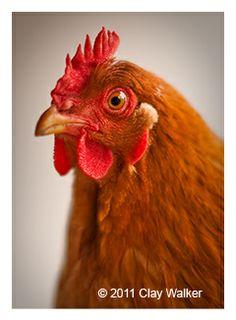 pretty poultry