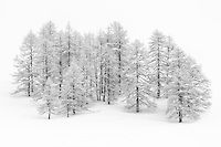 A gathering of larch trees covered with snow and hoar-frost, surrounded by…