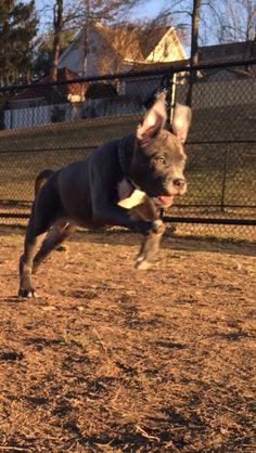 Harley at 13 weeks blue nose pitbull | bully | staffy