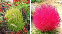 Kochia metlovitá trichophylla nadobudne začiatkom jesene karmínovú farbu, ktorá každého očarí.
