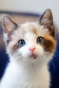 How To Draw Cute Animals and Cute Kittens Breeds all Cute Animals Japan before Cute Cat Pet Names while Cute Cat Halloween Memes Kittens And Puppies, Cute Cats And Kittens, Baby Cats, Cool Cats, Kittens Cutest, Small Kittens, Newborn Kittens, Small Cat, Pretty Cats
