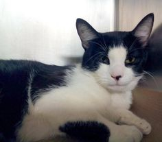 TO BE DESTROYED 8/12/14 ** WHAT A PRETTY GUY! Average Tommy interacts with the observer, appreciates attention, is easy to handle and tolerates all petting. ** Manhattan Center  My name is TOMMY. My Animal ID # is A1008944. I am a male black and white domestic sh mix. The shelter thinks I am about 3 YEARS old.  I came in the shelter as a STRAY on 08/01/2014 from NY 10472, Group/Litter #K14-188428.