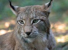 Luchs (Foto: kangarooarts/clipdealer.de)