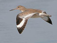 Willet in flight, Morro Strand State Beach, Morro Bay, CA by mikebaird, via Flickr