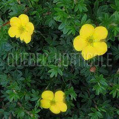 image de Potentilla fruticosa Tangerine Photos, Image, Gardens, Note Cards, Plant, Pictures, Photographs, Cake Smash Pictures