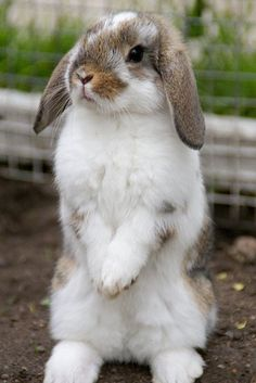 Cute Baby Bunnies, Funny Bunnies, Mini Lop Bunnies, Cute Little Animals, Cute Funny Animals, Tier Fotos, Animals Beautiful, Pet Birds, Animal Pictures