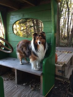 The Shetland Sheepdog originated in the and its ancestors were from Scotland, which worked as herding dogs. These early dogs were fairly Rough Collie, Collie Dog, Cute Puppies, Dogs And Puppies, Teach Dog Tricks, Shetland Sheepdog Puppies, Herding Dogs, Dog Hacks, Pet Dogs