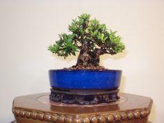 "mame bonsai | Bonsai Minas: Cereja do Rio Grande - ""mame-bonsai"""