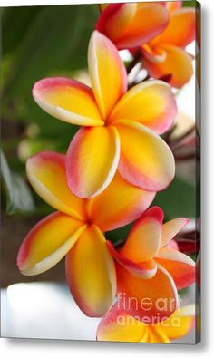 Red And Yellow Plumeria Flowers Acrylic Print By Brian Governale