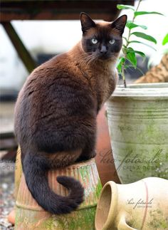 Burmese cat This breed. On 9 Sept yesterday I had to put down my cat named Moose. He was about 15 or 16 years old. Pretty Cats, Beautiful Cats, Animals Beautiful, Cute Cats And Kittens, Cool Cats, Burmilla Cat, Hypoallergenic Cats, Clumping Cat Litter, Oriental Cat