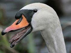 Mute Swan - http://dnr.wi.gov/topic/wildlifehabitat/documents/swancomparison.pdf