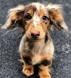 Dapple Dachshund, Long Haired Dachshund, Dachshund Puppies, Cute Dogs And Puppies, I Love Dogs, Dachshund Clothes, Dachshund Gifts, Daschund, Dachshund Shirt