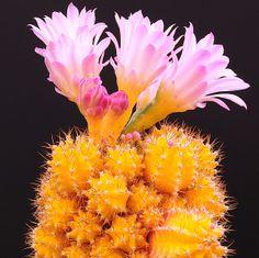 Gymnocalycium  ( Cactus )