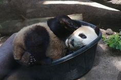 Daily dose of cute #panda - Mr Wu in a tub by Mollie Rivera
