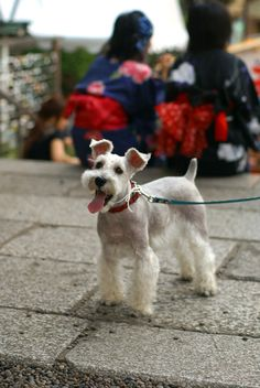 Goodness! This looks so much like my Bowzer!) (Miniature Schnauzer by Terry