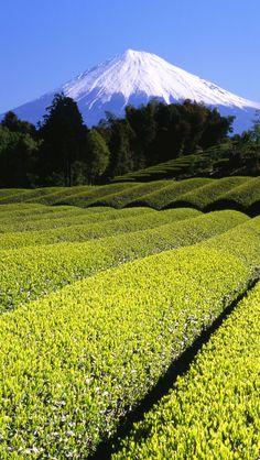 Mount Fuji view from tea fields, Japan